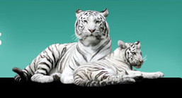 tigre-fete-des-meres
